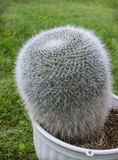 Cactus Mammillaria in a pot on the lawn Royalty Free Stock Photo