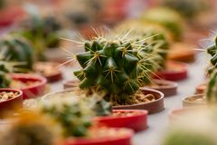 Cactus in many pots. royalty free stock photo