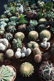 Cactus market in the city of Aarhus Denmark Stock Photography