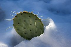 Cactus in melting snow. Metaphor of resilience, viability and quarrelsome concept. Cold resistance royalty free stock image