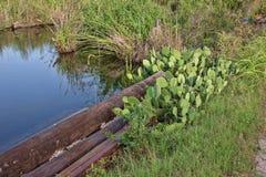 Cactus met bruin fruit Royalty-vrije Stock Foto's