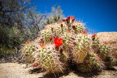 Cactus met de boom nationaal park van bloemenjoshua stock foto