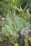 Cactus met grote groene doornen stock afbeelding