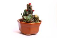 Cactus met kleine rode bloemen Stock Afbeeldingen