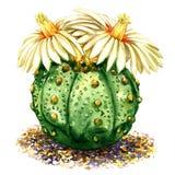 Cactus met lichtgele geïsoleerde bloemen, waterverfillustratie op wit vector illustratie