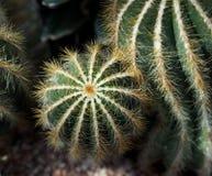 Cactus met Randen en Stekels Stock Foto