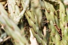 Cactus met scherp van doornen royalty-vrije stock afbeeldingen