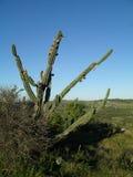 Cactus met vruchten Royalty-vrije Stock Afbeelding