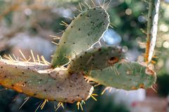 Cactus met weerhaken royalty-vrije stock foto