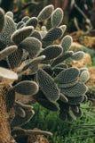 Cactus met wit torns vooraanzicht Stock Foto's