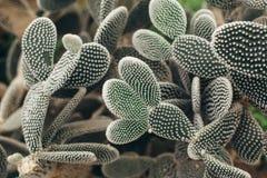 Cactus met wit torns vooraanzicht Royalty-vrije Stock Afbeeldingen