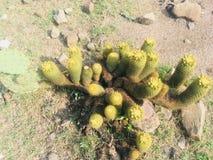 Cactus mexicano imagen de archivo libre de regalías