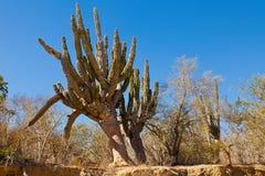 Cactus in Mexico Stock Image