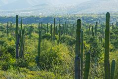 Cactus in Mexico Stock Photography