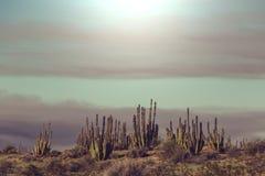 Cactus in Mexico Stock Photo