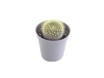 cactus in mini vaso di plastica Immagini Stock Libere da Diritti