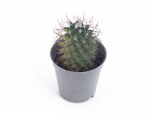 cactus in mini vaso di plastica Fotografie Stock