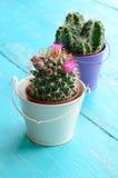 Cactus minuscules dans des pots de fleurs de seau Photo stock