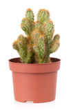Cactus mis en pot Photos stock