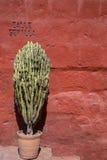 Cactus mis en pot Photographie stock libre de droits
