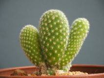 Cactus mis en pot d'isolement sur le fond gris images stock