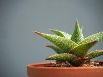 Cactus mis en pot d'isolement sur le fond gris photos libres de droits