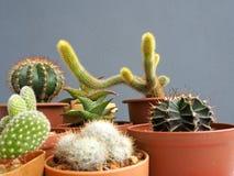 Cactus mis en pot d'isolement sur le fond gris photos stock