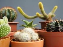 Cactus mis en pot d'isolement sur le fond gris images libres de droits