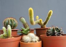 Cactus mis en pot d'isolement sur le fond gris image stock