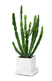 Cactus in modern white pot Royalty Free Stock Images