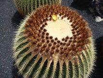 Cactus - Moeder in Wet Seat royalty-vrije stock foto's