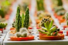 Cactus in molti vasi Molti generi Fotografie Stock Libere da Diritti