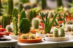 Cactus in molti vasi Molti generi Fotografia Stock
