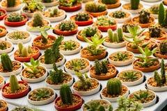 Cactus in molti vasi Molti generi Fotografia Stock Libera da Diritti