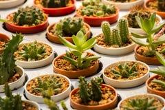 Cactus in molti vasi Molti generi Immagine Stock Libera da Diritti