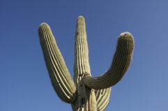 Cactus in the Morning Sun 2 Royalty Free Stock Images