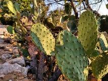 Desert cacti Stock Photo