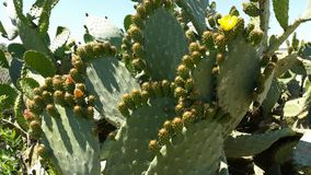 Cactus morocco Indian fig opuntia Barbary fig. Opuntia ficus-indica is a species of cactus that has long been a domesticated crop plant important in agricultural Royalty Free Stock Photo