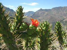 Cactus in the mountains Royalty Free Stock Images