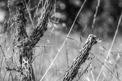 Cactus muerto Fotografía de archivo