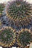 Cactus multicolores d'ananas Photographie stock libre de droits