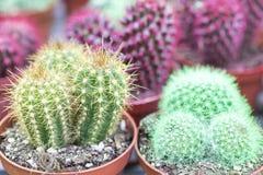 Cactus multicolori in vasi da fiori Raccolta dei cactus colorati multi Immagine Stock Libera da Diritti