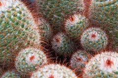 Cactus multiple croissant rond photographie stock libre de droits