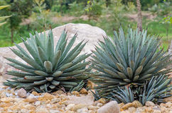 Cactus named Harvard agave. Cactus named Harvard agave in garden Royalty Free Stock Photography