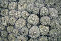 Cactus. Natural background of prickly catus stock photography