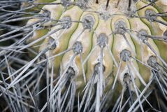 Cactus. Natural background of prickly catus stock photo