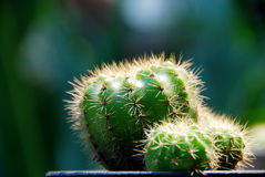 Cactus in natural light. Cactus on dark background royalty free stock image
