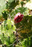 Cactus in the nature - closely. Stock Photography