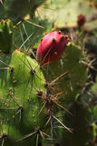 Cactus in the nature - closely. Stock Photos