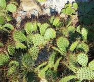 Cactus. Nature summer grove of cactus Stock Images